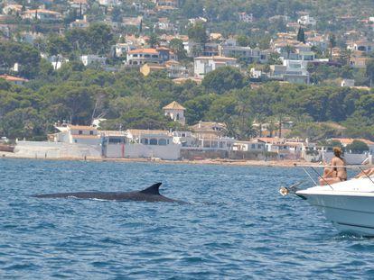 No acosen a las ballenas: están migrando hacia el Atlántico