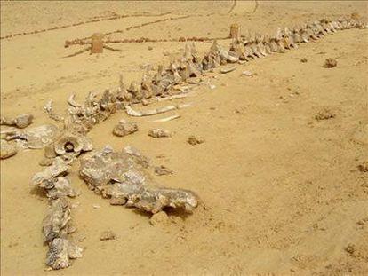Fósiles de ballenas en el desierto de Egipto