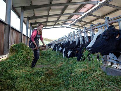 Una ganadera alimenta a sus vacas en Menorca, el pasado mes de marzo.