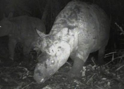 El rinoceronte de Java, captado por una cámara especial en la jungla indonesia