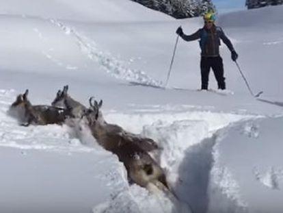 Unos trabajadores de la estación de esquí de La Molina en Girona ayuda a regresar a su hábitat a una manada