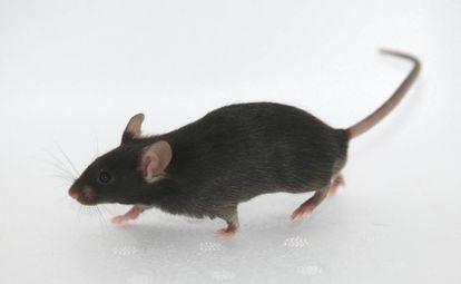 Un ratón negro de la cepa utilizada por el equipo de Álvaro Fernández.