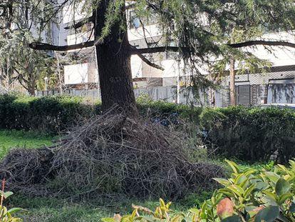 Un nido de cotorras argentinas caído de un árbol en el distrito de Moncloa-Aravaca tras la nevada de Filomena, en enero de este año.
