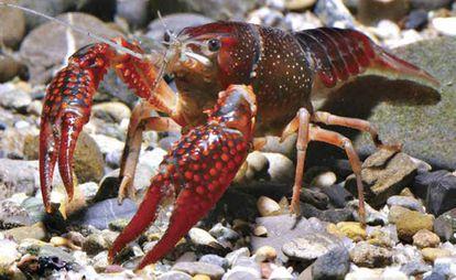 Un cangrejo rojo o americano.