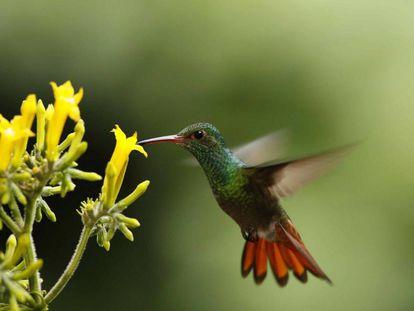 Un colibrí busca miel en la zona de Guápiles, al este de San José (Costa Rica).