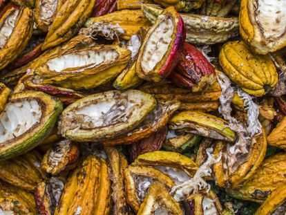 Cacao en la Amazonia ecuatoriana.