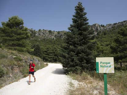 Una persona corre junto a un pinsapo, uno de los tesoros naturales de la Sierra de las Nieves, en Málaga.