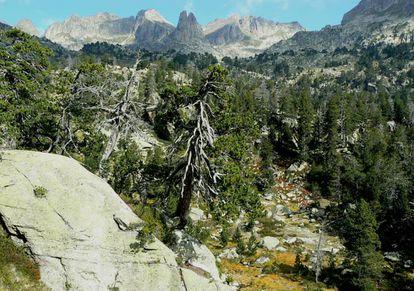Algunos de estos pinos del parque de Aigüestortes tiene más de 700 años.