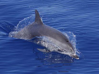 La labor de Indemares ha confirmado de la existencia de un santuario para cetáceos en Fuerteventura y Lanzarote.