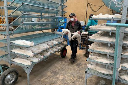 Un trabajador traslada visones sacrificados en la granja de Hans Henrik Jeppesen, cerca de Soroe, después de la decisión del Gobierno danés de eliminar todo su rebaño.