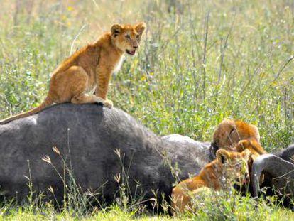 En todos los ecosistemas donde el león es el rey, existe la misma proporción de leones y presas, como éste búfalo.