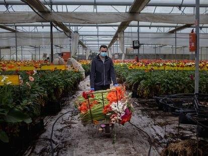 El coronavirus hunde el sector de la flor cortada en Chipiona (Cádiz) en plena campaña y obliga a los agricultores a tirar la cosecha.