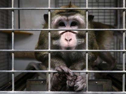Un macaco en una jaula en las instalaciones del laboratorio Vivotecnia, en Madrid, entre 2018 y 2020.