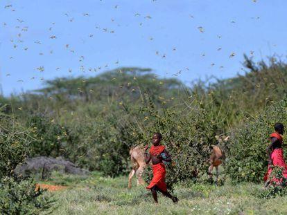 Langosas del desierto invaden la región de Samburu, Kenia.