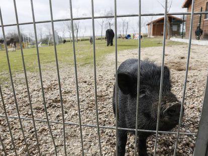 Un cerdo vietnamita en la protectora de animales Alba en Camarma de Esteruelas (Madrid).