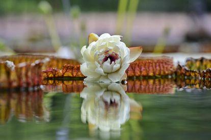 La flor de Victoria 'Longwood Hybrid', la mañana del jueves en el Real Jardín Botánico de Madrid.