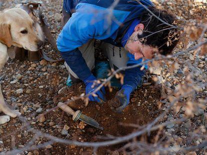 El agricultor Alberto Salvador Chiva selecciona en Sarrión (Teruel) una trufa después de que su perra trufera la localizase.