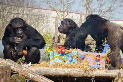 Chimpancés en proceso de rehabilitación en la fundación Mona.