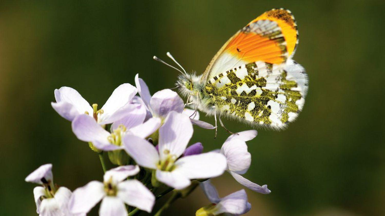 La mariposa aurora o mariposa musgosa (Anthocharis cardamines``).