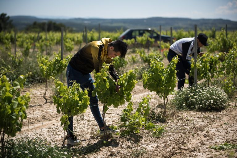 Mohammed Gheziel and Mouad Lmadani, two 18-year-old Moroccans, work in some vineyards in Tarragona.