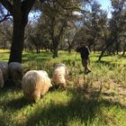 Un pastos con sus ovejas en la Casa de Campo, en Madrid.