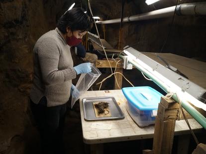 Una arqueóloga trabaja en los ramos de flores encontrados en la pirámide de Quetzalcóatl.