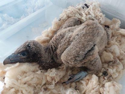 'Pirenaico', uno de los últimos polluelos de quebrantahuesos recuperados en el centro de cría de Cazorla, en Jaén. / JUNTA DE ANDALUCÍA