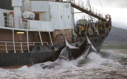 Un barco ballenero arrastra los cuerpos de dos cetáceos a su base en Hvalfjordur (Islandia).