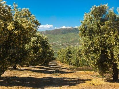 Castillo de Canena tiene 1.500 hectáreas de olivares en Jaén.