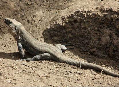 Un lagarto gigante.