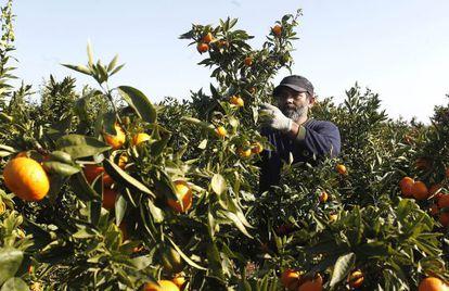 Un agricultor recolecta naranjas en un campo en la comarca de La Plana Baixa de Castellón.