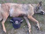 Lobo hallado muerto en Manzanares el Real en 2015.