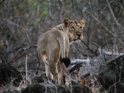 Un león asiático, en el Parque Natural de Gir (India), el pasado marzo.