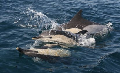 Un grupo de delfines en el mar.