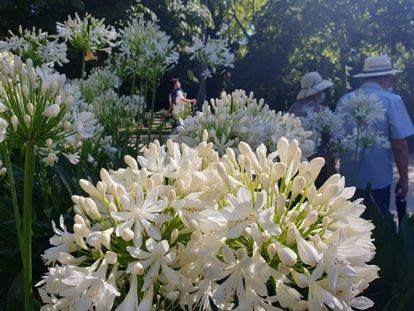 Agapantos blancos situados frente al Palacio de Cristal del Parque del Retiro
