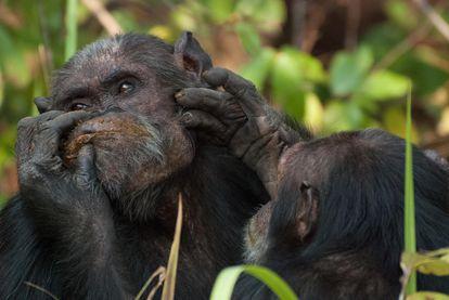 Dos chimpancés del Parque Nacional de Gombe (Tanzania) se proporcionan cuidados.