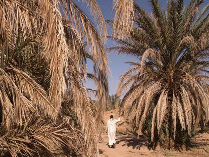 Un hombre camina entre palmeras secas en el oasis de Tafilalet, Marruecos, que está desapareciendo debido al calentamiento global.