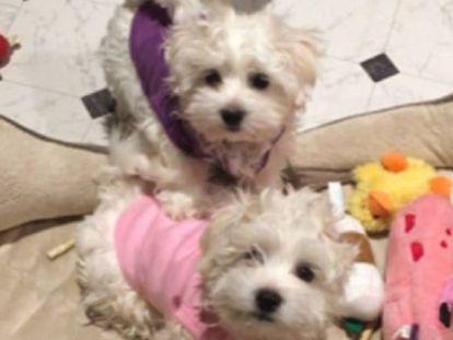 Dos de los perros de Barbra Streisand.