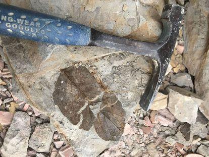 El fósil de una hoja se conserva en las piedras de las minas de Colombia.