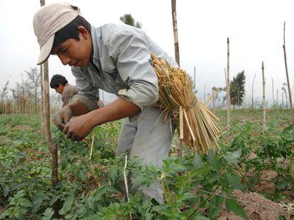 Productores trabajan en el cultivo de fresas en la provincia de Tucumán.