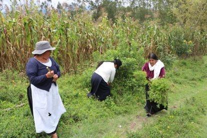 Tres mujeres de La Calera (Ecuador) recogen plantas medicinales para preparar con ellas remedios naturales.