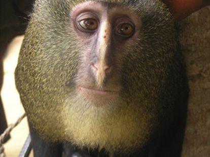 Un ejemplar adulto del nuevo mono africano lesula ('C. Lomamiensis').