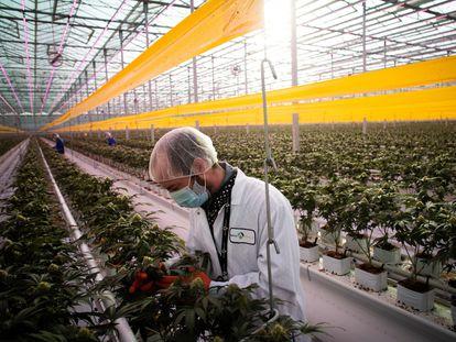 Un trabajador en una plantación de cannabis en Ontario, el pasado enero.