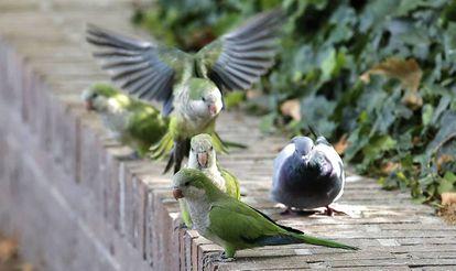 Varias cotorras argentinas junto a una paloma en la Casa de Campo (Madrid).