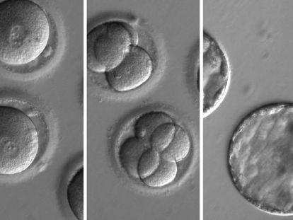 Tres fases de desarrollo de los embriones tratados con CRISPR.