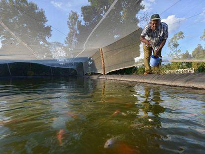 Un hombre lanza alimento al estanque donde cultiva peces en el condado de Kirinyaga, en el centro de Kenia.