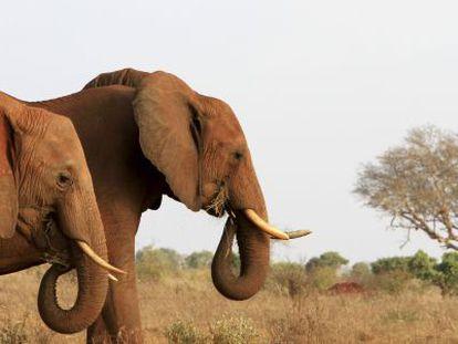 Elefantes en el parque nacional Tsavo (Kenia), donde vivía el ejemplar Satao, muerto con flechas envenenadas en mayo