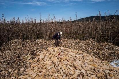 México es uno de los principales productores de maíz de la región, sin embargo constantemente tiene perdidas por el robo de estos productos y sus derivados.