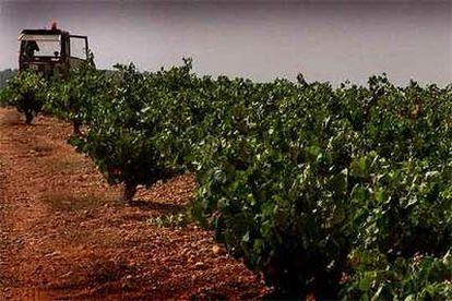 Una explotación de viñedos en Requena-Utiel (Valencia).