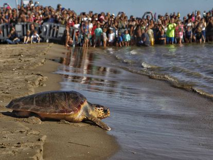Decenas de personas presencian la liberación de una tortuga boba en la playa de las Delícies, en Sant Carles de la Ràpita (Cataluña), el pasado año.
